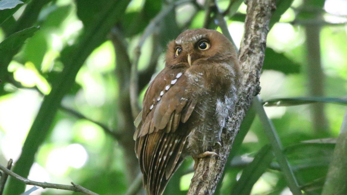 Flores Scops Owl (Otus alfredi)